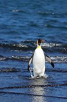 King Penguin on Heard Island, Antarctica