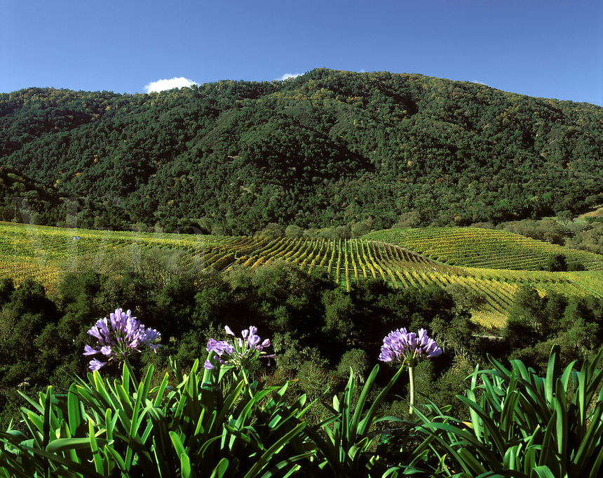 PURPLE AGAPANTHUS and WINE GRAPE VINES in a CARMEL VALLEY VINEYARD - MONTEREY COUNTY, CALIFORNIA.