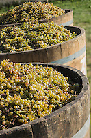 France, Aquitaine, Pyrénées-Atlantiques, Béarn, Coteau du Jurançon, Lacommande:  Vignoble du Jurançon, la vendange   //  France, Pyrenees Atlantiques, Bearn, Slopes of Jurançon, Lacommande: Jurançon vineyard, the harvest