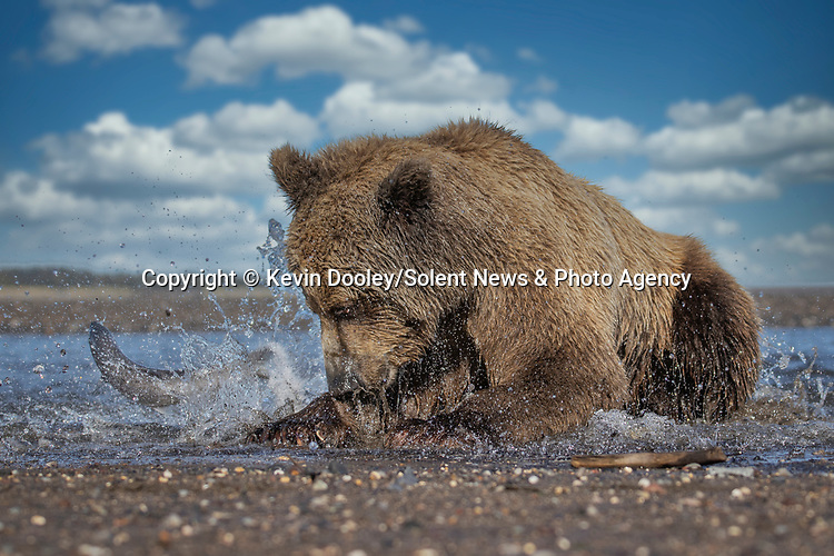 Pictured: The bear pounces on the fish close to the shore edge, but it thrashes free.  Sequence 7 of 10.<br /> <br /> A brown bear struggles to catch a thrashing salmon as the fish tries to escape its deadly paws.  The fish are a vital part of this young male's diet, providing up to nine pounds of fat each day which is necessary to survive the harsh Alaskan winter.<br /> <br /> Though the fish often slip away, this one was caught by the bear on his second attempt.  The photographs were taken by professional wildlife photographer Kevin Dooley in Southwest Alaska, in the United States.  SEE OUR COPY FOR DETAILS.<br /> <br /> Please byline: Kevin Dooley/Solent News<br /> <br /> © Kevin Dooley/Solent News & Photo Agency<br /> UK +44 (0) 2380 458800
