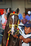 Trinniberg in the walking ring for the Swale Stakes(G3) at Gulfstream Park, Hallandale Beach Florida. 03-10-2012