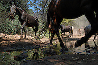 Horses come to a water hole  in order of domiant bands at the Wild Horse Sanctuary.  Over 300 horses on 5,000 acres that have been saved.