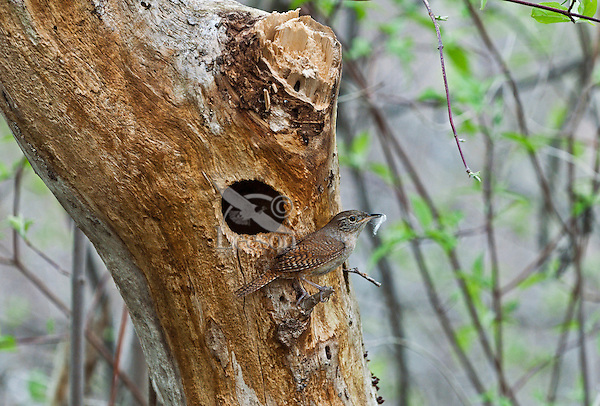 House Wren (Troglodytes aedon) male with nesting material. Lake Erie.  A common backyard bird, the House Wren has one of the largest ranges of any songbird in the Western Hemisphere, breeding from central Canada all the way down to the southernmost point of South America.