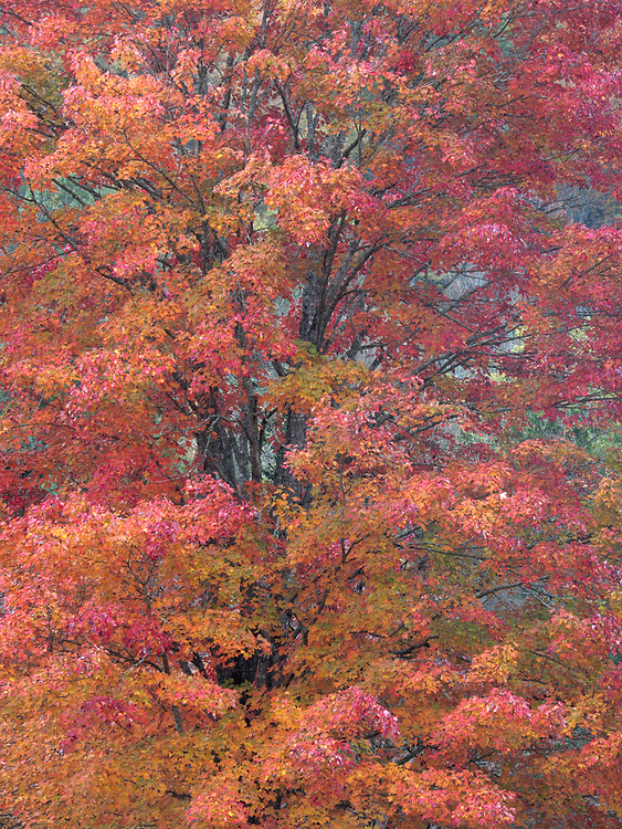 A maple tree flaunts its autumnal colors in the Great Smoky Mountains National Park in Tennessee, USA