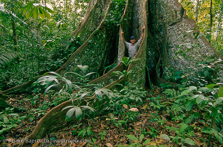 """Wildlife Photographer André Baertschi at the buttressed base of an emergent """"Huangana Caspi"""" tree (Sloanea obtusifolia) in lowland tropical rainforest, Manu National Park, Madre de Dios, Peru."""