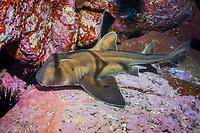 Port Jackson shark, Heterodontus portusjacksoni, endemic, Montague Island, Narooma, New South Wales, Australia, South Pacific Ocean