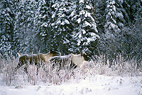 Woodland Caribou (Rangifer tarandus) running through Snow along Alaska Highway, Northern BC, British Columbia, Canada, Winter