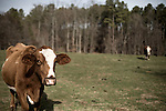 January 16, 2008. Chapel Hill, NC.. Photographs of grass fed beef cows on the Hogan Farm in Chapel Hill, NC.