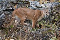Puma standing on a rocky hill side - CA