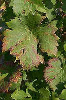 Vine leaf. Cabernet Franc. Chateau Gaillard, Saint Emilion, Bordeaux, France