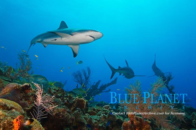 Caribbean reef sharks, Carcharhinus perezii, over coral reef, West End, Bahamas, Atlantic Ocean