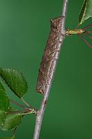 Weißdorn-Eule, Weißdorneule, Raupe, Allophyes oxyacanthae, Miselia oxyacanthae, Meganephria oxyacanthae, Green-brindled Crescent, Noctuidae, Eulenfalter