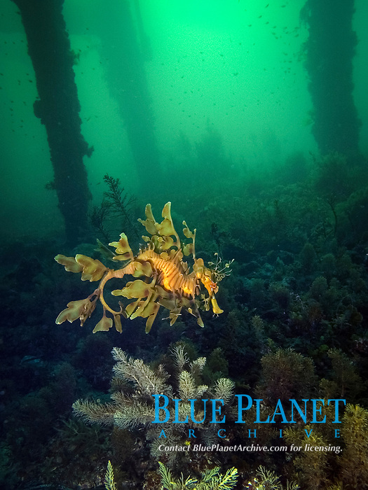 leafy Sea dragon, Phycodurus eques, a leafy seadragon under a jetty or pier in South Australia , nestled amongst algae, Wool Bay South Australia, Australia, Southern Ocean