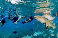 A group of women hold hands while they watch two curious Nurse Sharks,Ginglymostoma cirratum, swim by, Ambergris Caye, Belize, Caribbean Sea.