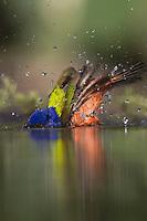 Painted Bunting (Passerina ciris), male bathing, South Texas, USA