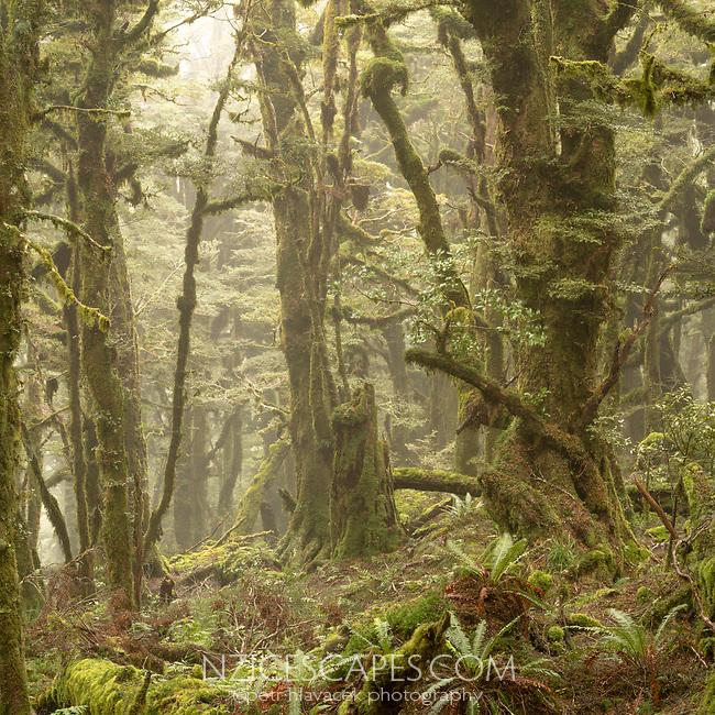 Soft mist swirls through beech trees cloaked in moss of goblin forest on Panekiri Bluff, Te Urewera, Hawke's Bay, North Island, New Zealand, NZ