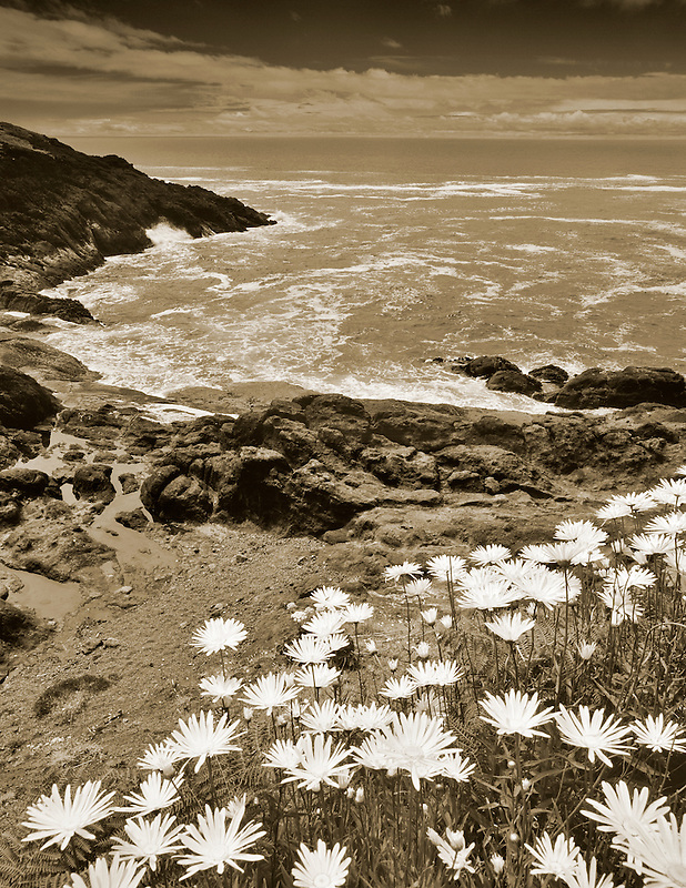 Daisies and coastline near Whale Cove, Oregon