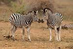 Burchell's Zebra (Equus burchellii) females nuzzling, Kruger National Park, South Africa