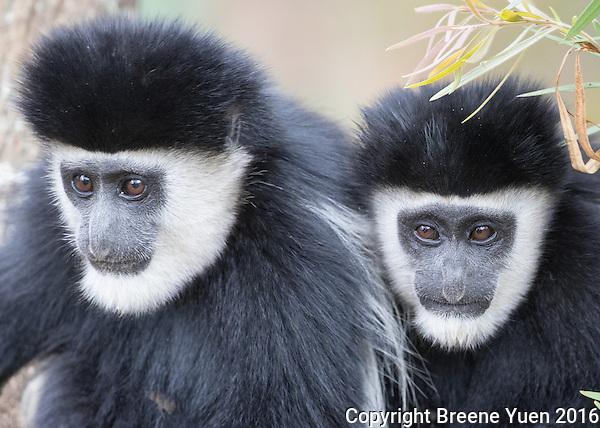 Colobus Monkey Pair   Kenya 2015