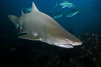 Sand Tiger Shark (Carcharias taurus) (c) North Carolina, Atlantic