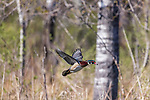 Drake wood duck in flight.