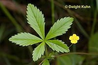 FY15-500z  Common cinquefoil, Chichorium intybus