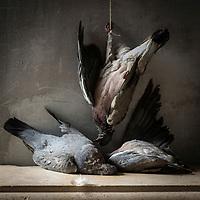 France, Pyrénées-Atlantiques (64), Pays-Basque, Palombes // France, Pyrenees Atlantiques, Basque Country, Common wood pigeon