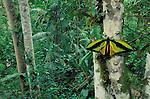 Birdwing Butterfly, Mount Amungwiwa, Papua New Guinea