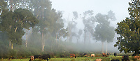 Misty morning on farm with cows near Whataroa, South Westland, New Zealand, NZ