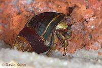 1101-0906  Aquatic, Underwater Hermit Crab, Dwarf Red Tip Hermit Crab, Clibanarius spp.  © David Kuhn/Dwight Kuhn Photography