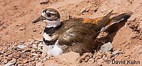 0510-1120  Killdeer, Adult Sitting on Eggs, Charadrius vociferus  © David Kuhn/Dwight Kuhn Photography