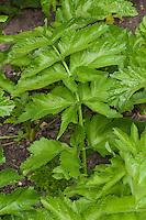 Echter Pastinak, Blatt, Blätter vor der Blüte, Pastinake, Hammelsmöhre, Pastinaca sativa, parsnip