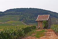 Vineyard. Beaune, Cote d'Or, Burgundy, France