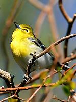 Yellow-throated vireo adult