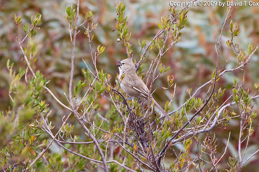 Chirruping Wedgebill, Arid Lands Botanic Garden, Pt Augusta, SA, Australia