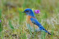 Male Western Bluebird (Sialia mexicana).  The wildflowers are called Grass Widows and are one of the earliest wildflowers found in the Columbia River Gorge National Scenic Area.  One often finds hardy individuals in early February, but the peak bloom for these flowers usually occurs in early March, which coincides with the return of these beautiful birds to this area.