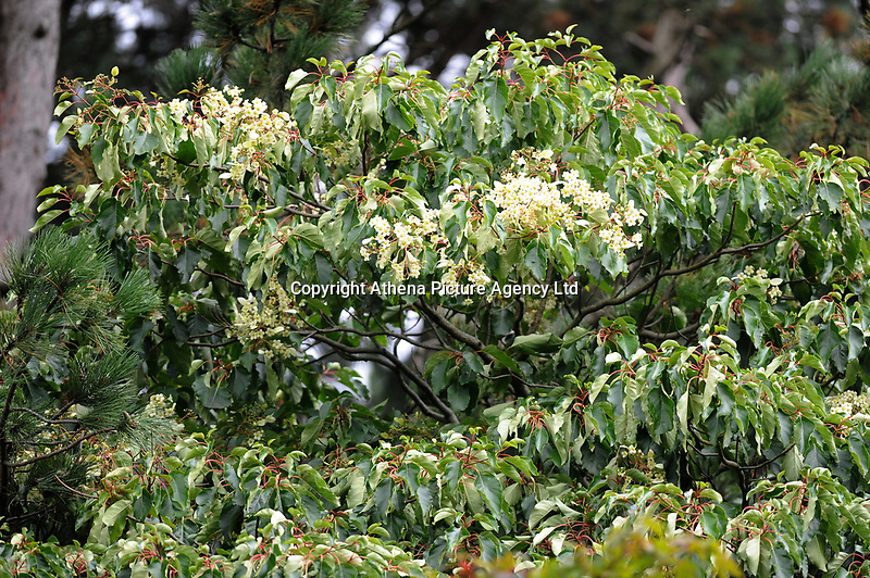 Pictured: Monday 13th August 2018. A general view of The Emmenopterys henryi flower tree in roath park.<br /> Re: A rare Chinese tree in Cardiff has flowered for the first time since it was planted more than 100 years ago.<br /> The creamy-white flowers on Roath Park's Emmenopterys henryi are thought to be the result of a cold winter followed by heatwave conditions.