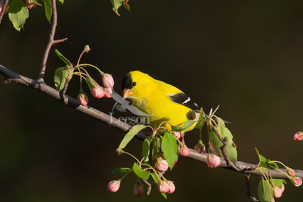 American Goldfinch (Carduelis tristis) in blossoming apple tree.  Spring