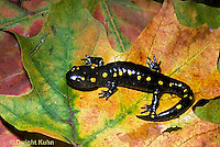 SL01-094x   Salamander - spotted salamander adult on autimn leaves - Ambystoma maculatum
