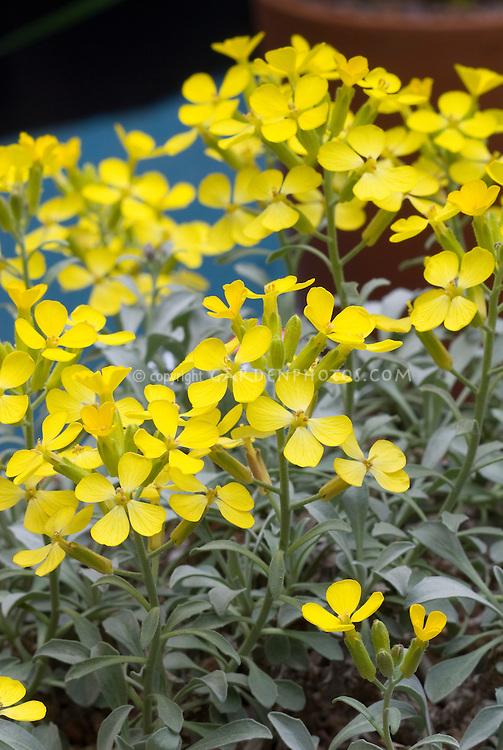 Fibigia triquetra, alpine plant native to mountains of Croatia, in spring flowering yellow blooms