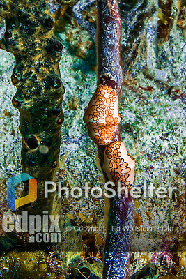 9 June 2015: A pair of Flamingo Tongues (Cyphoma gibbosum) feed on a coral branch at Spanish Bay Reef, on the North Shore of Grand Cayman Island. Located in the British West Indies in the Caribbean, the Cayman Islands are renowned for excellent scuba diving, snorkeling, beaches and banking.  Mandatory Credit: Ed Wolfstein Photo *** RAW (NEF) Image File Available ***