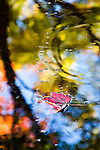 shapes of autumn, red leaf on the water, colorful reflection, Maine, USA