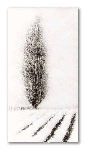 Spirit willow, Skaget Valley, Washington