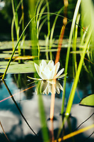 White Water Lily (Nymphaea alba), Sjuhäradsleden, West Sweden, Sweden - Västsverige, Sverige