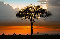 Acacia tree and Wildebeests silhouettes with colorful and cloudy sunset in Masai Mara park, during the great migration between Kenya and Tanzania