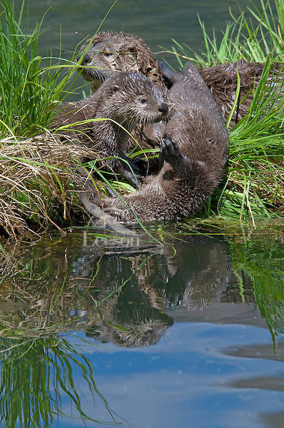 Northern River Otter (Lontra canadensis) family--mother with two pups--play around grassy log along edge of lake.  Western U.S., summer..