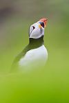 Atlantic Puffin (Fratercula arctica). Isle of Lunga, Treshnish Isles, Isle of Mull, Scotland.