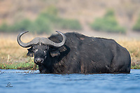 "Big male Cape Buffalo (Syncerus caffer) glares at our boat as he munches on a meal of aquatic plants. The whitish circles around his eyes and his thick ""boss"" - the fused base of each of his horns - indicate he is an older animal. The horns of the Cape Buffalo form fully when the animal reaches five or six years old but the bosses do not harden until the bull is 8 to 9 years old."