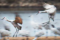 """""""Sandhill Cranes Landing""""  Aldo Leopold Foundation  Baraboo, Wisconsin 