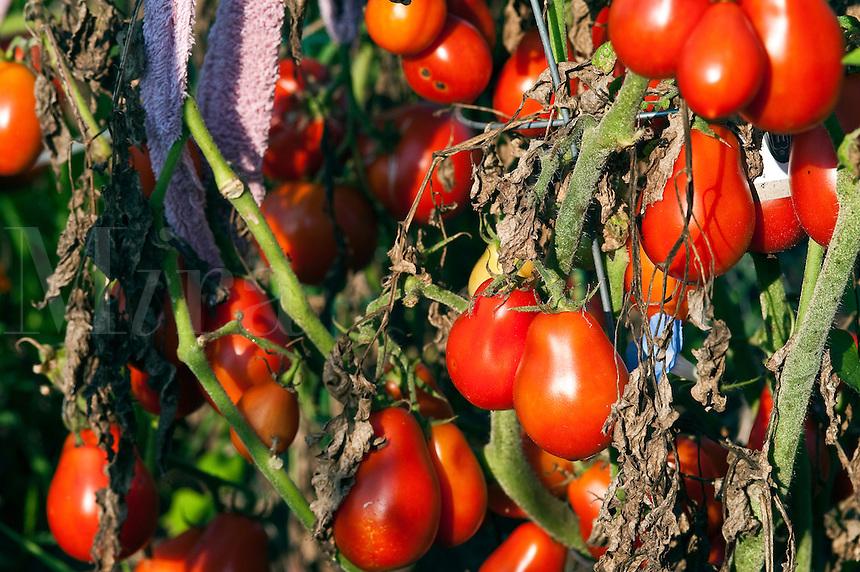 Ripe tomato plants in garden.